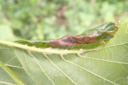 Rolled Alder Leaf