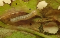 Caterpillar on Wych Elm
