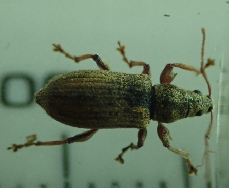 Phyllobius sp. A weevil that will probably be determined very soon