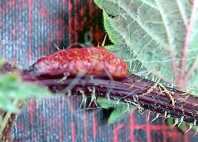 Nettle Rust Puccinia urticae