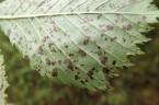 Mycosphaerella ulmi on Ulmus glabra