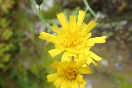 Hieracium silvaticoides (Wood Hawkweed)
