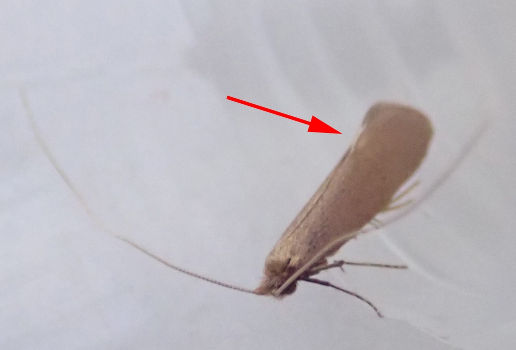 Nematopogon schwarziellus (Sandy Long-horn)